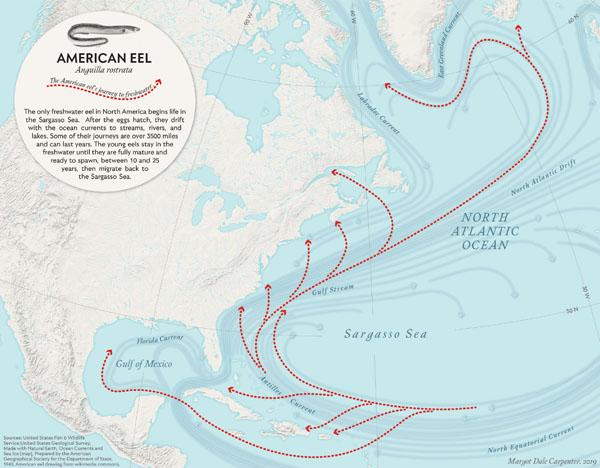 American Eel: The American Eel's Journey to Freshwater.