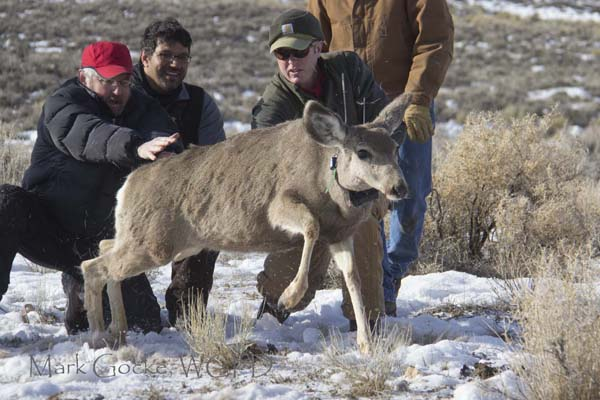 Figure 3. Jim Meacham and Matthew Kauffman releasing a GPS-collared mule deer (photo credit: Mark Gocke, Wyoming Game and Fish Department).